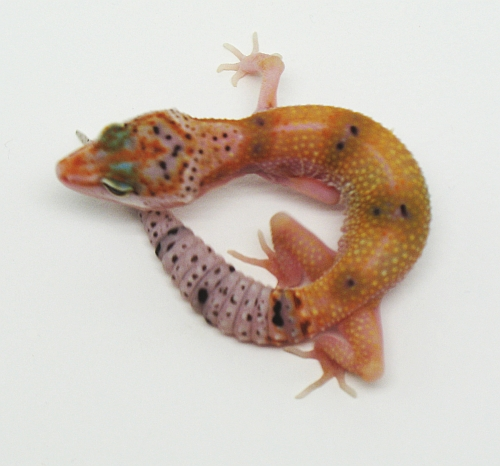 The Gecko Ring - Tangerine, Snow and Enigma Leopard Geckos