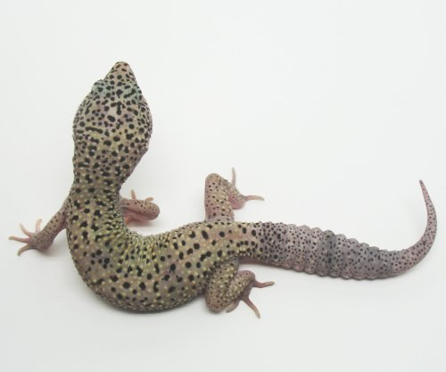 The Gecko Ring - Tangerine and Snow Leopard Geckos - Breeders