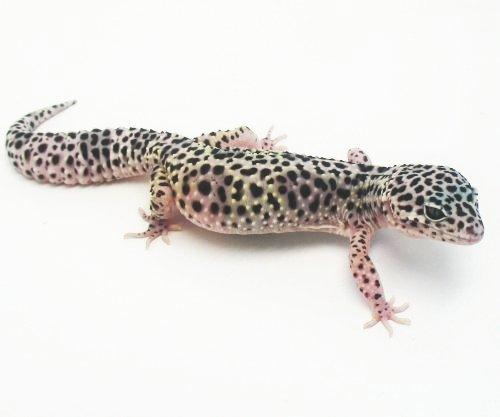 Black Pearl Leopard Gecko - photo#25